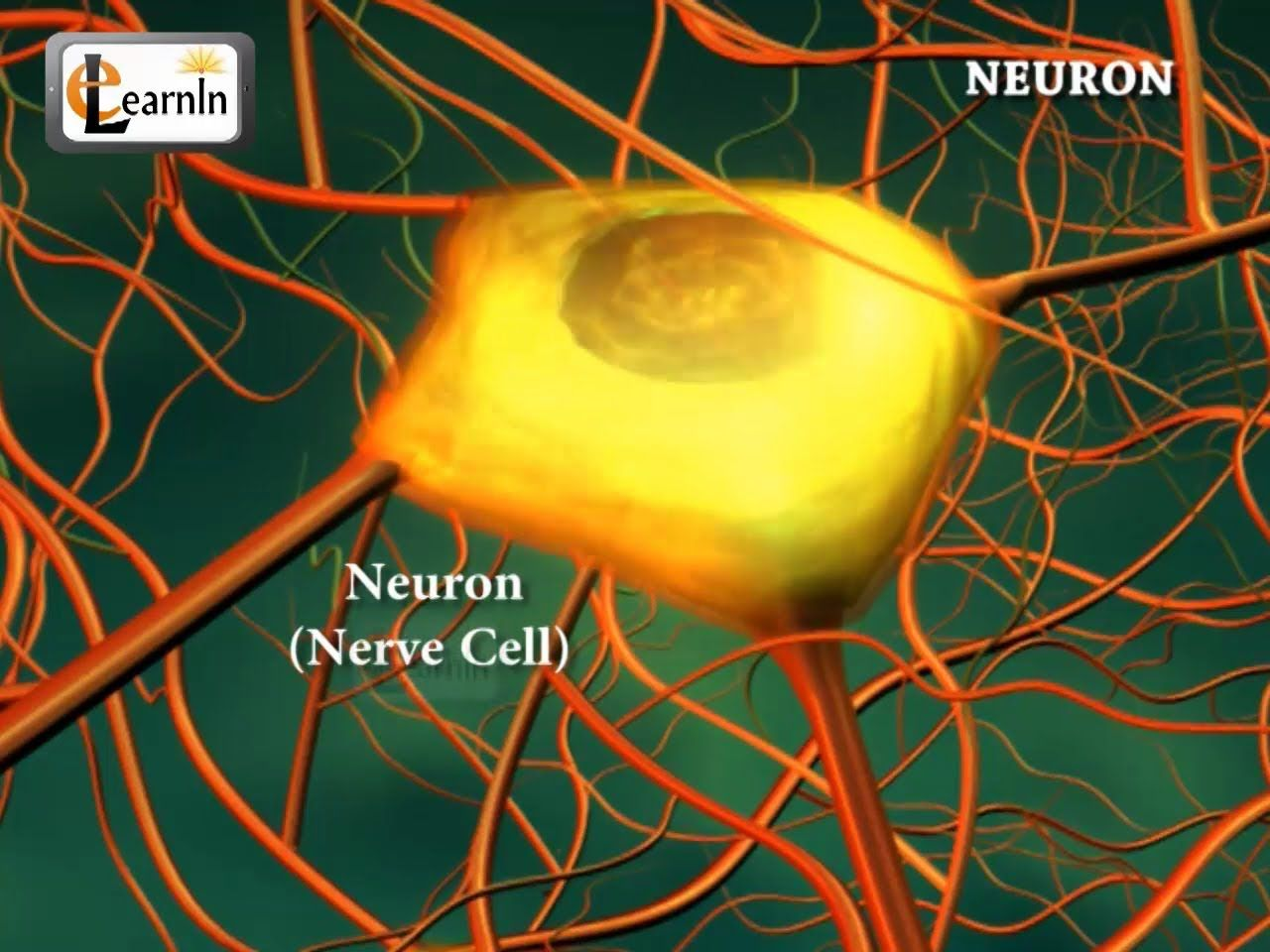 This image shows a picture of a real neuron under a microscope this image shows a picture of a real neuron under a microscope with the structures clearly identified this picture also has a brief description of robcynllc Choice Image