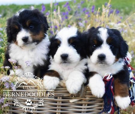 Mini Bernedoodles Bernedoodle Bernedoodle Puppy Mini Puppies