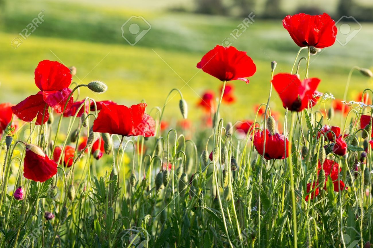 Image Result For Images Of Poppies In Field Gelincik Pinterest