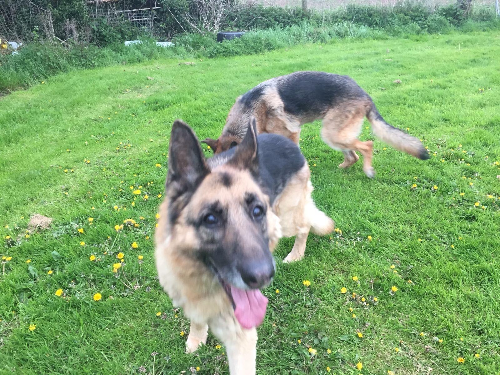 Blade & Sasha Cheshire German shepherd dogs, Shepherd