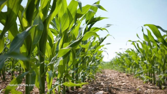 Non-GMO corn offers far more nutrition without the poison, study shows