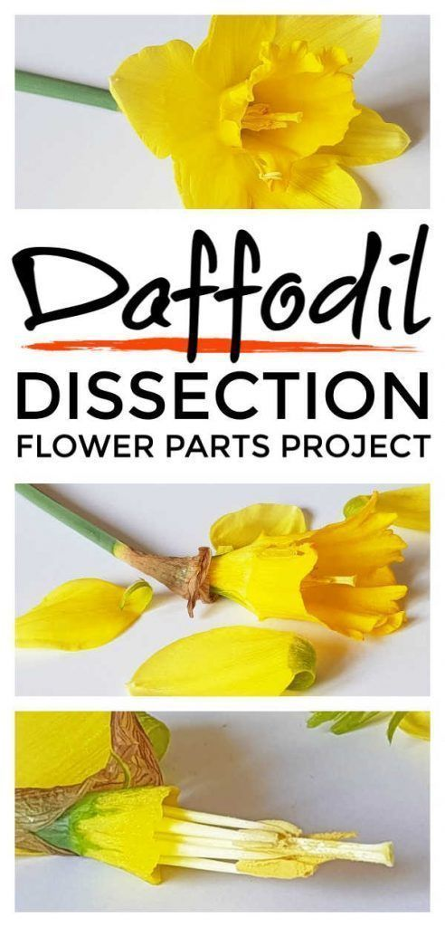 Dissecting Daffodils To Explore Pollination -   6 planting Flowers eyfs ideas