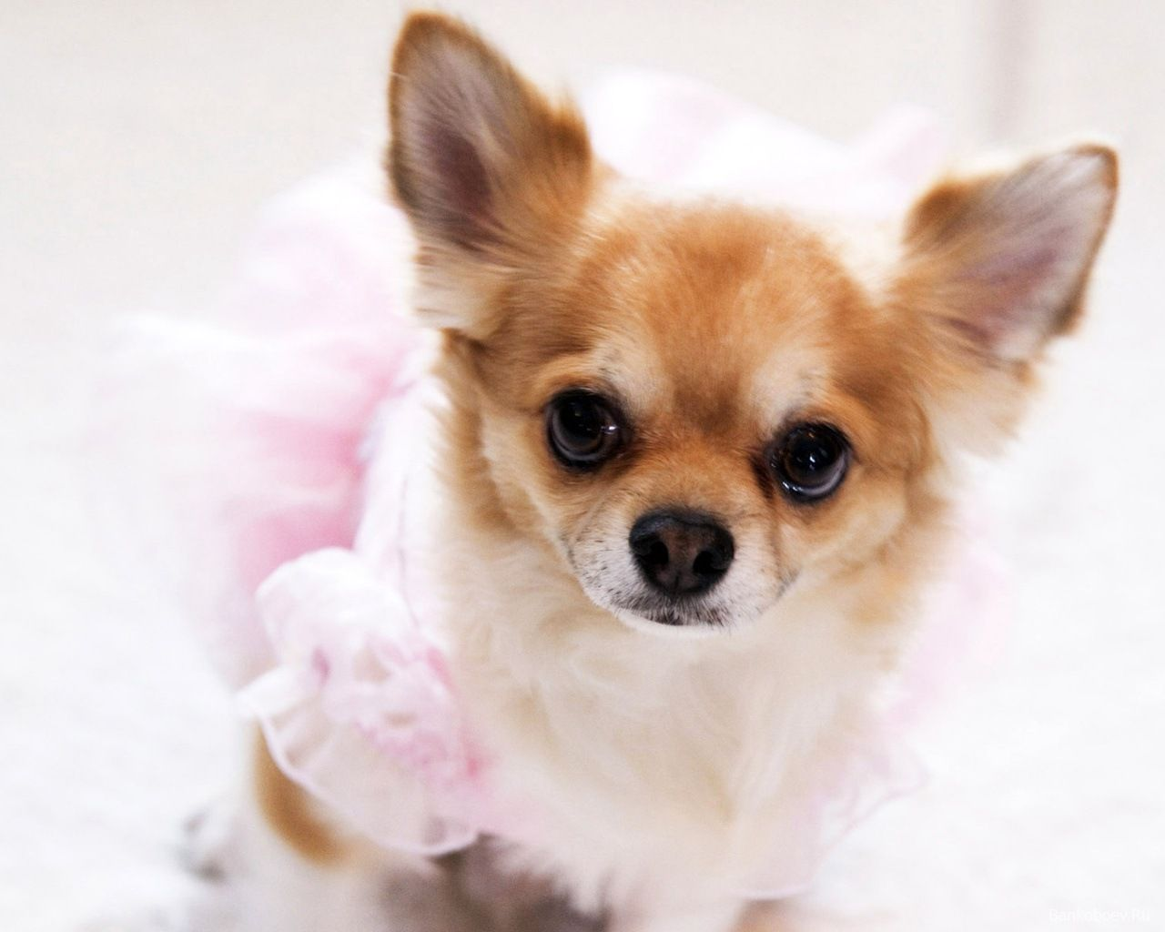 Pictures Of Chihuahuas Wallpaper Chihuahua 1600 X 1200 On The Desktop High Quality Chihuahua Puppies Funny Dogs Chihuahua