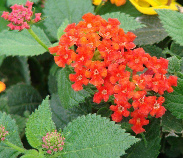 Details About 40 Lantana New Gold Live Plants Plugs Garden Home Diy