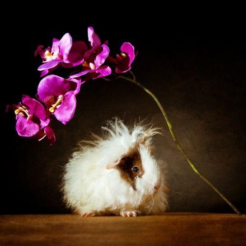Guinea Pig cuteness