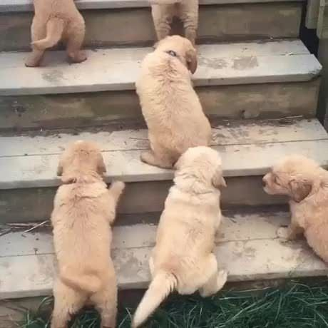 Golden Retriever Puppies Trying Stairs For The First Time