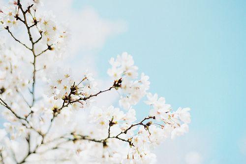 White Cherry Blossoms With A Light Blue Sky As A Background Sakura Light Blue Sky White Cherry Blossom Flowers Nature Blue cherry blossom wallpaper