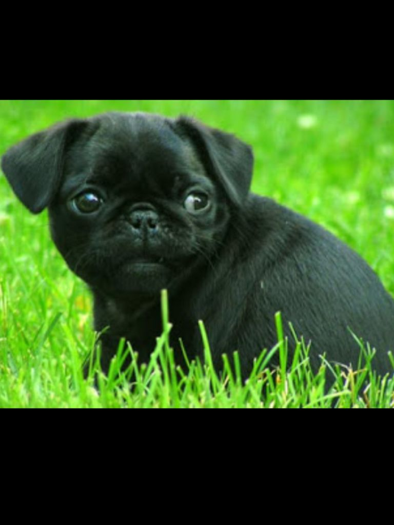 Black Pug Puppy Playing In The Grass Baby Pugs Pug Puppies