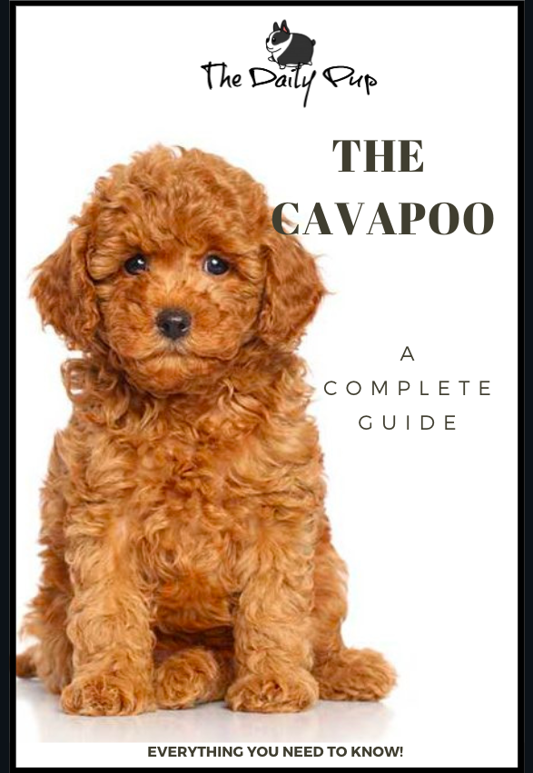 The Complete Guide To The Cavapoo Cavapoo Puppies Cavapoo