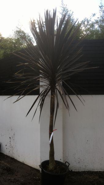 Cordyline Australis New Zealand Cabbage Tree Hardy Palms Uk Tropical Garden Palm Trees Landscaping Plants