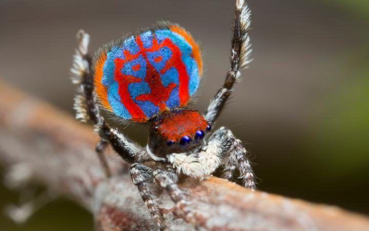 Un especimen de una nueva especie de araña pavo real, Maratus bubo, recién descubierta en Australia (Jurgen Otto, 2016)