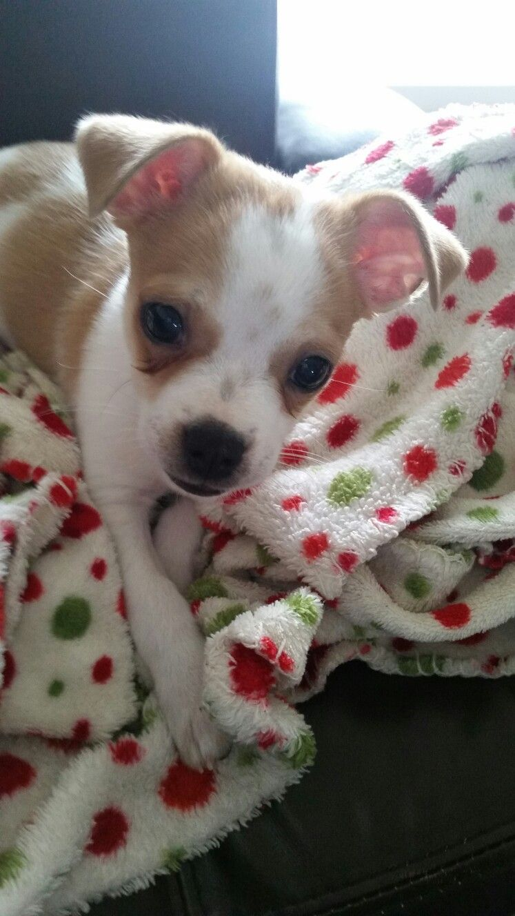 Bochi Dog Boston Terrier Mix Chihuahua Billy The Kid Is 3 Months Old And About 4 Pounds Of Attitude Cute Animals Cute Dogs Chihuahua