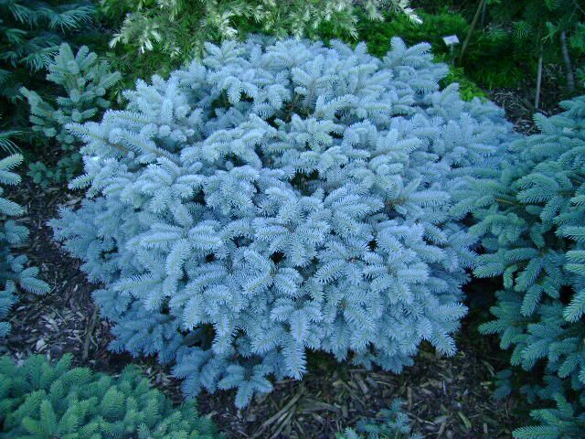 Dwarf Conifers Zone 5 Google Search Bushes And Shrubs Conifer Plants Evergreen Garden