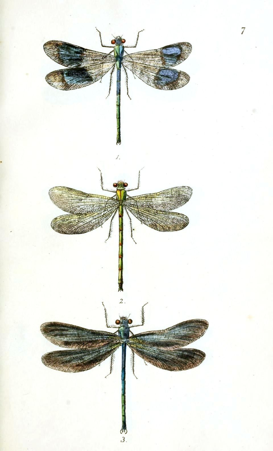 vintage dragonfly prints | Animal – Insect – Dragonfly 1 | Vintage ...