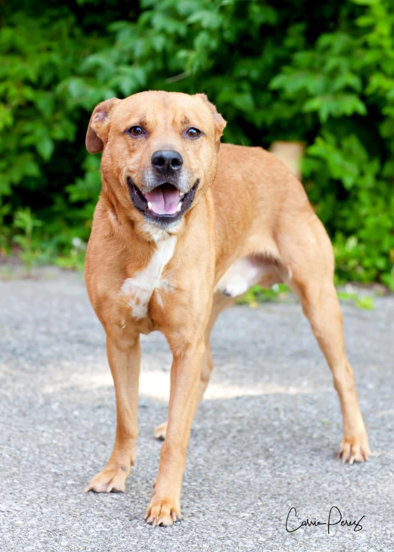 Baxter is an adoptable Labrador Retriever searching for a forever family near Cape Girardeau, MO. Use Petfinder to find adoptable pets in your area.