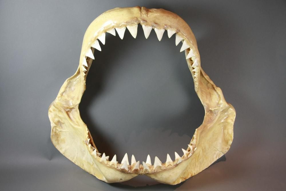 Lee Renee Jewellery* Great White Shark Jawbone at The Natural History Museum - The actual one I ...