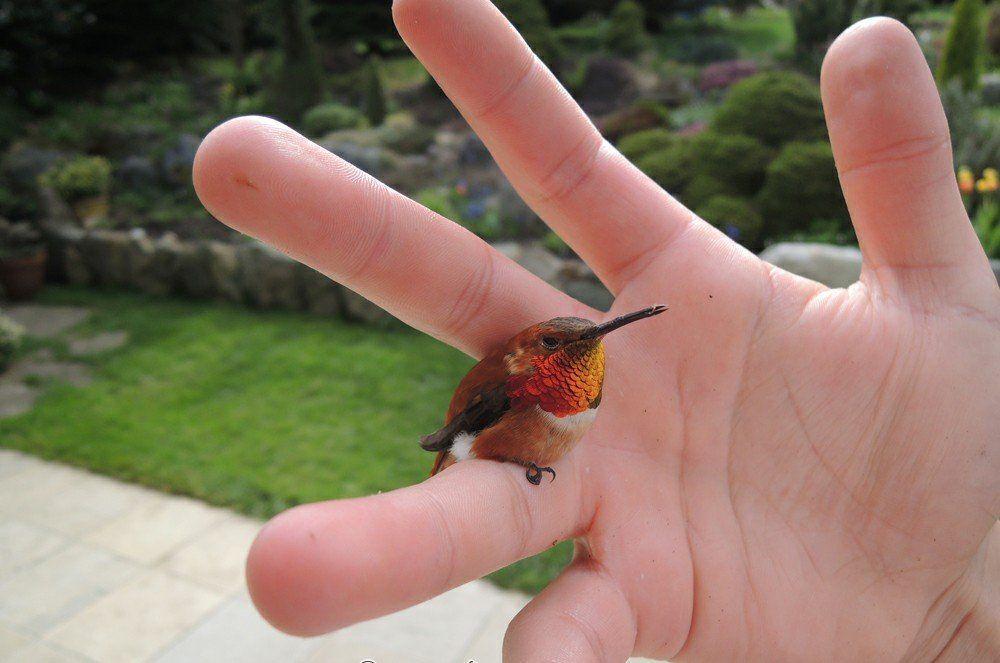 Bee Hummingbird In 2020 Bee Hummingbird Pet Birds Birds Pictures With Names