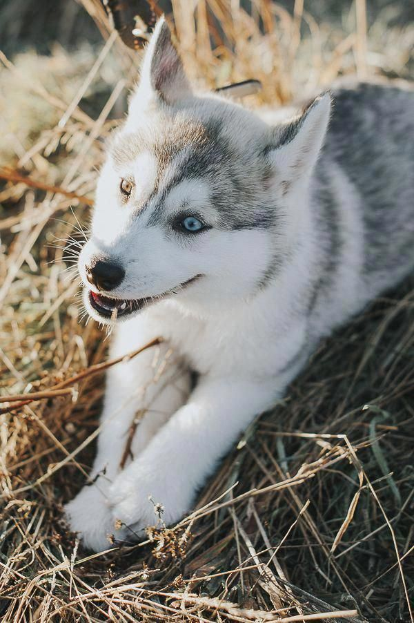 Receive Terrific Recommendations On Siberian Husky Puppies They