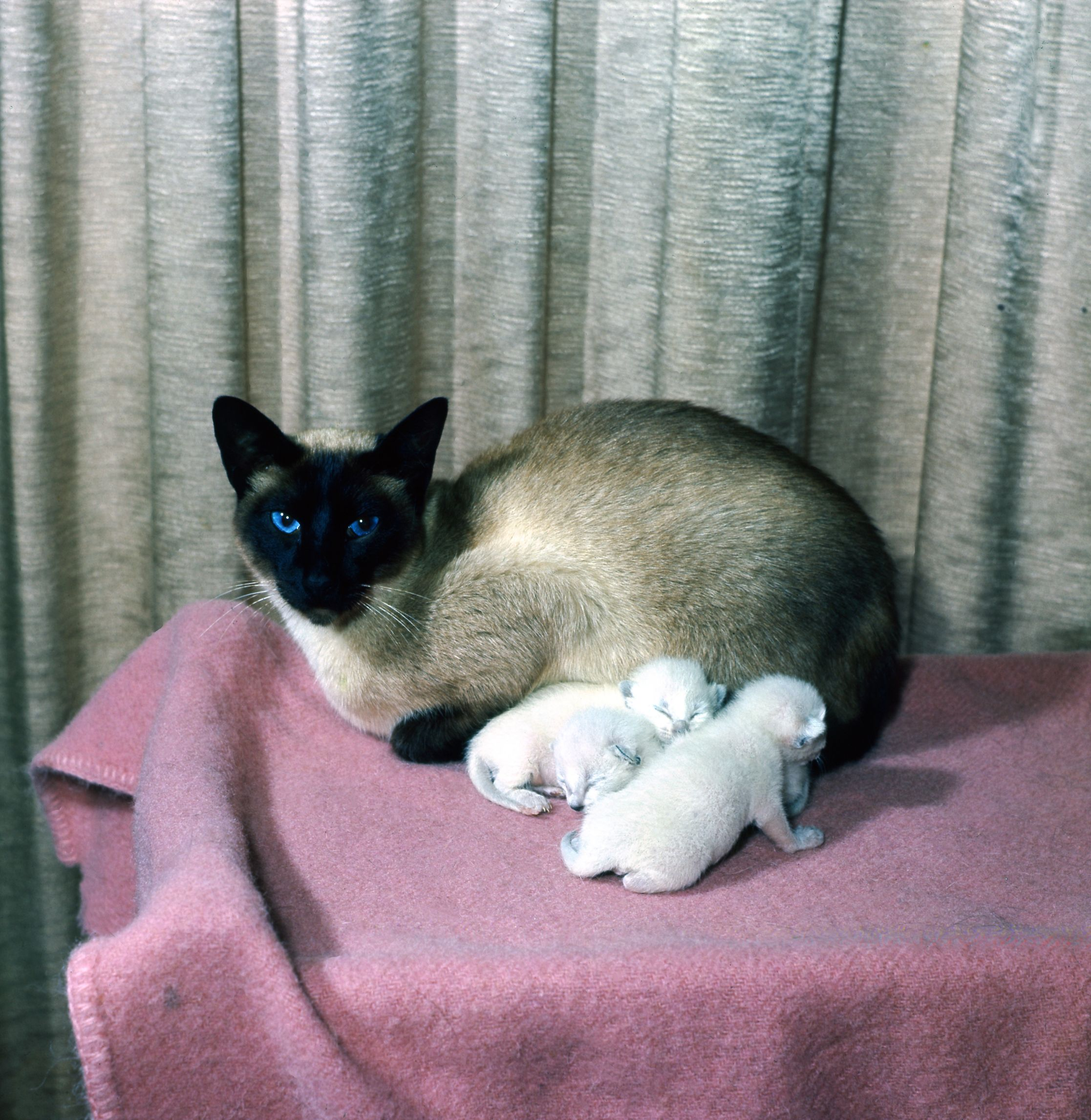Jason The Blue Peter Cat With Some Of His Kittens Animals Peter Cat Blue Peter