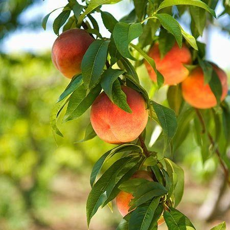 Harvester Peach Tree Fast Growing Trees Peach Trees Dwarf Peach Tree