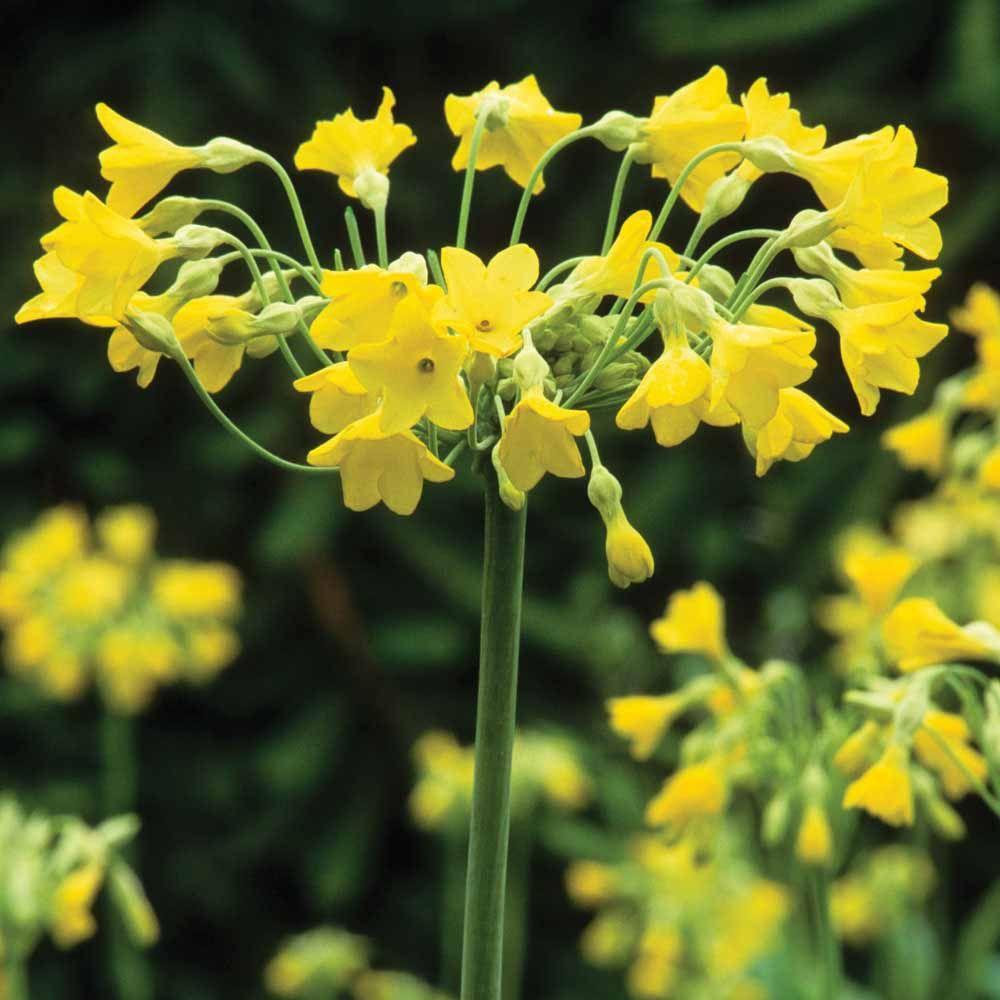 Giant Fragrant Cowslip - Cottage Garden Plants - Van Meuwen