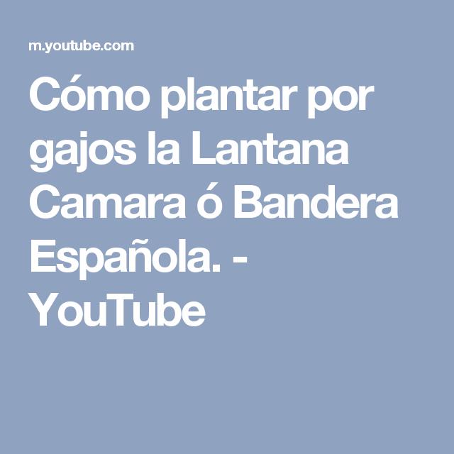Cómo Plantar Por Gajos La Lantana Camara ó Bandera Española Youtube Lantana Camara Banderas Españolas Plantar
