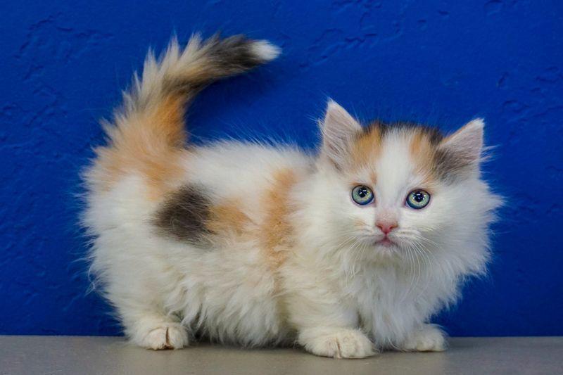 Ragdollkittens Ragdoll Kittens Kitten Sale Near For Buy Me Kiragdoll Kittens For Sale Near Me In 2020 Ragdoll Kitten Kittens Cutest Ragdoll Kittens For Sale