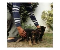 German Shepherd Highly Class Supreme Quality Puppies Pair For Sale