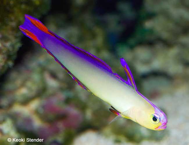 Purple Firefish Nemateleotris Decora Tropical Fish Photo From Tropical Fish And Aquariums Saltwater Tank Tropical Fish Marine Animals