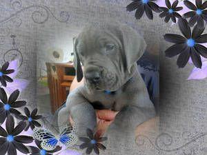 Akc European Blue Great Dane Puppies With Images Blue Great Dane Puppies Great Dane Puppy Great Dane