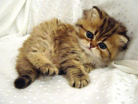 Golden shaded perser Katzen, Katzenbabys, Perserkatze