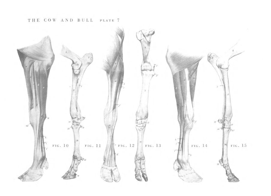 Cow - legs | Anatomy | Pinterest | Cow, Anatomy and Animal anatomy