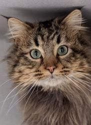 Adopt Mason On Long Haired Cats Cat City Pets