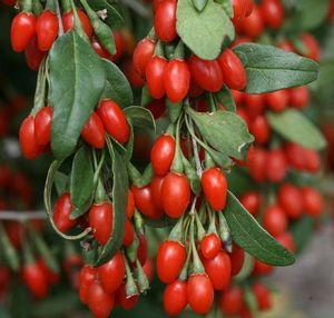 Sweet Lifeberry® Goji Berry Buy Online, Best Prices