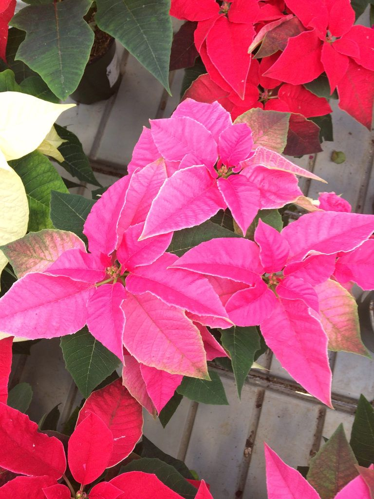 Nobody Wants To Receive A Poinsettia Plant As A Gift This Holiday Only To Have It Die Before Christmas Avoid That Blooming Plants Poinsettia Care Flower Care