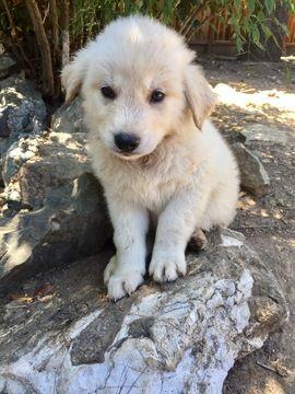 Litter Of 6 Goberian Puppies For Sale In Saratoga Ca Adn 32063 On Puppyfinder Com Gender Male Age 9 Weeks Puppies For Sale Husky Puppies For Sale Puppies