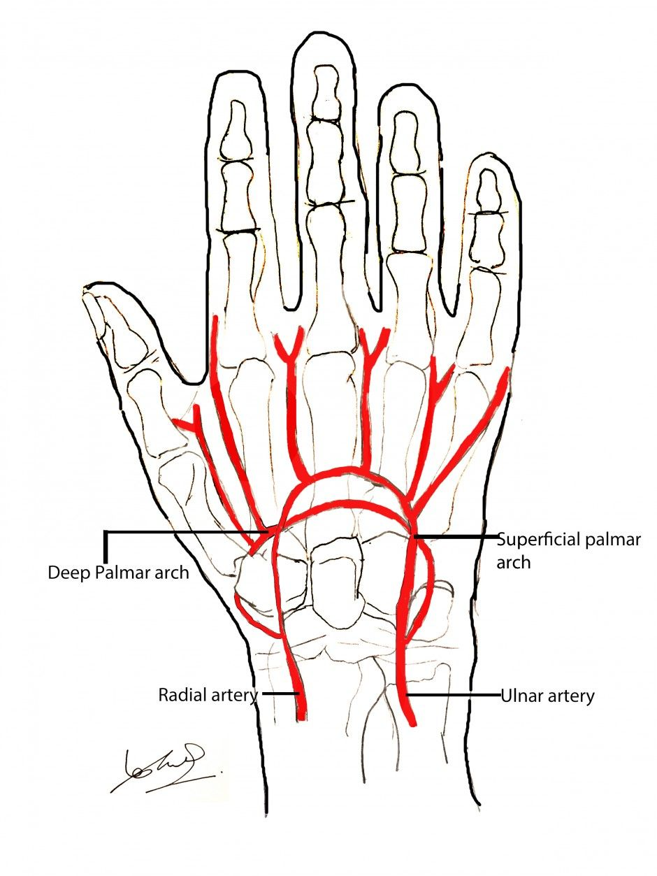 Blood supply of the hand | surgery | Pinterest | Anatomy