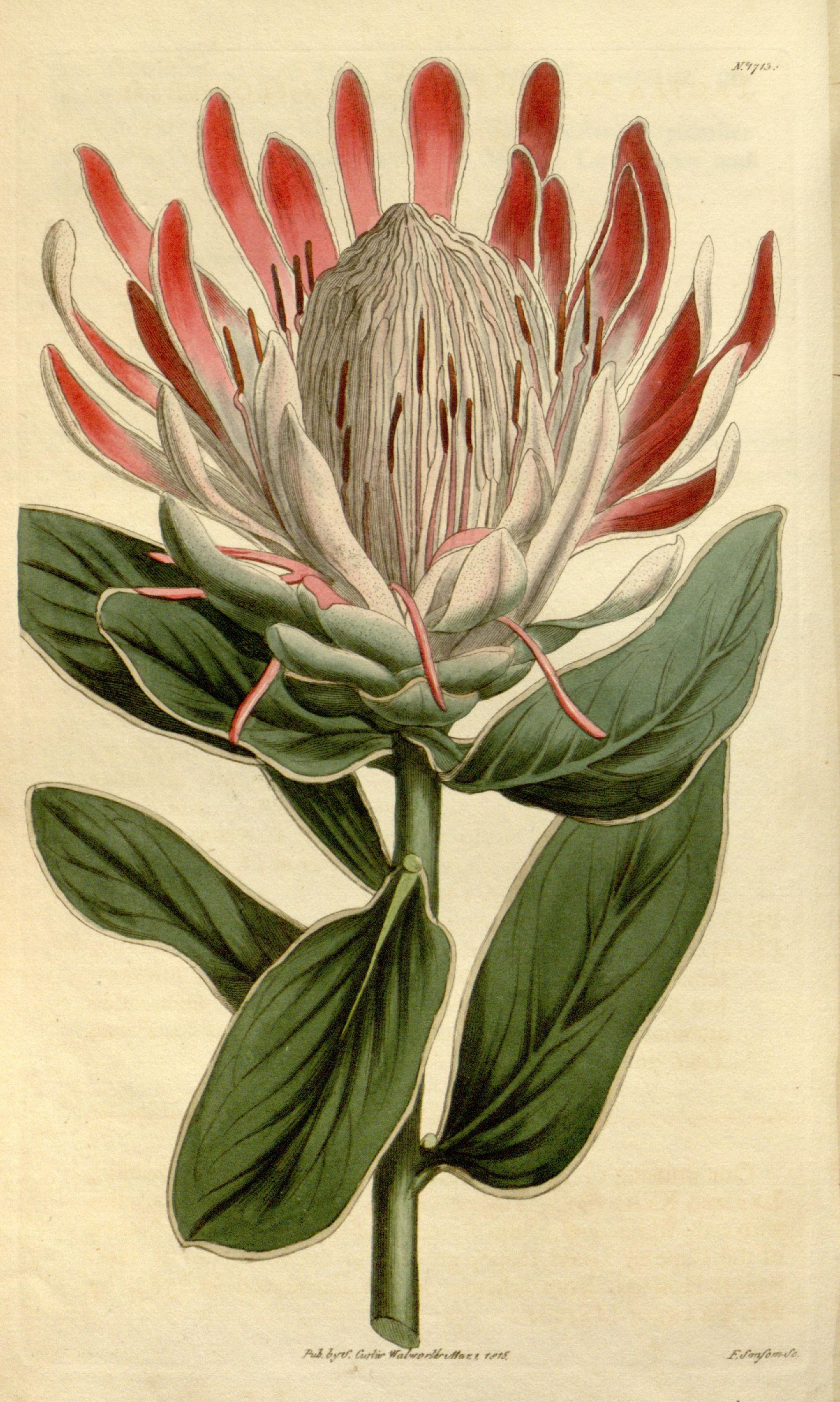 Protea Formosa V 41 1814 1815 Curtis S Botanical Magazine Biodiversity Heritage Libr Botanical Illustration Botanical Drawings Vintage Botanical Prints