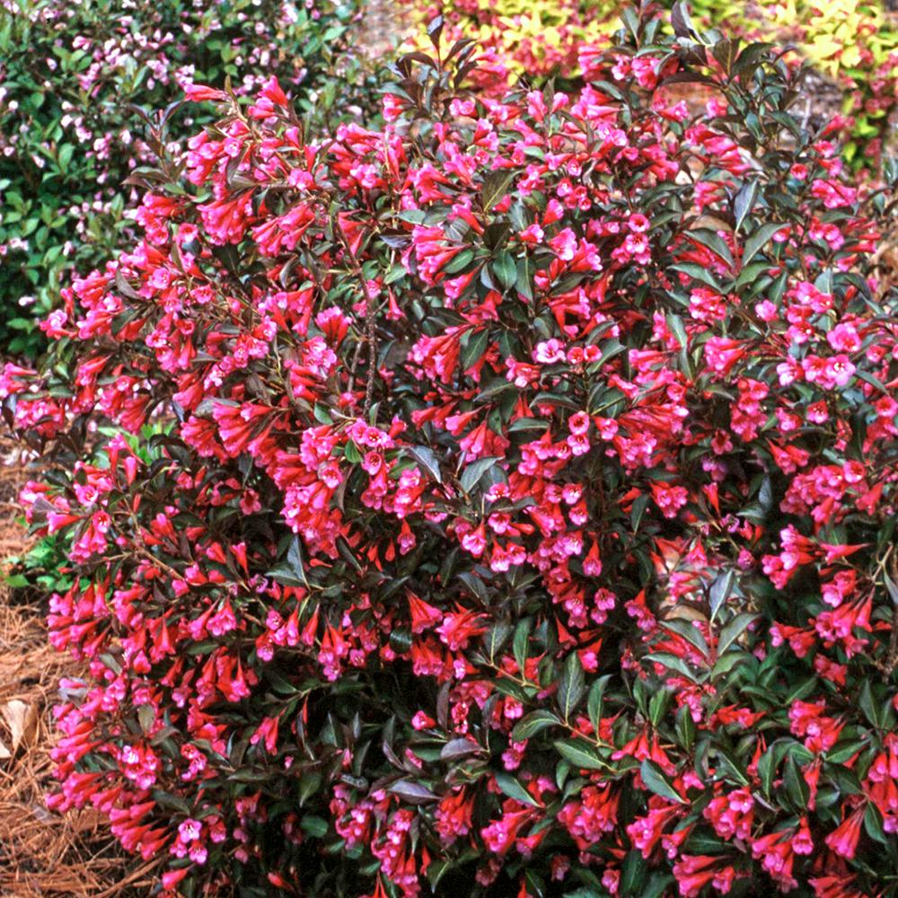 Spring Hill Nurseries Proven Winner Wine And Rose Weigela Live Bareroot Plant Pink Flowers With Dark Purple Foliage 1 Pack 76529 The Home Depot Spring Hill Nursery Flowering Shrubs Plants