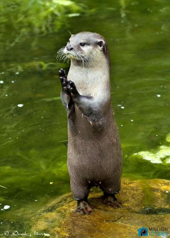 Pin By Canvasbutterfly On Otters And River Creatures Super Cute