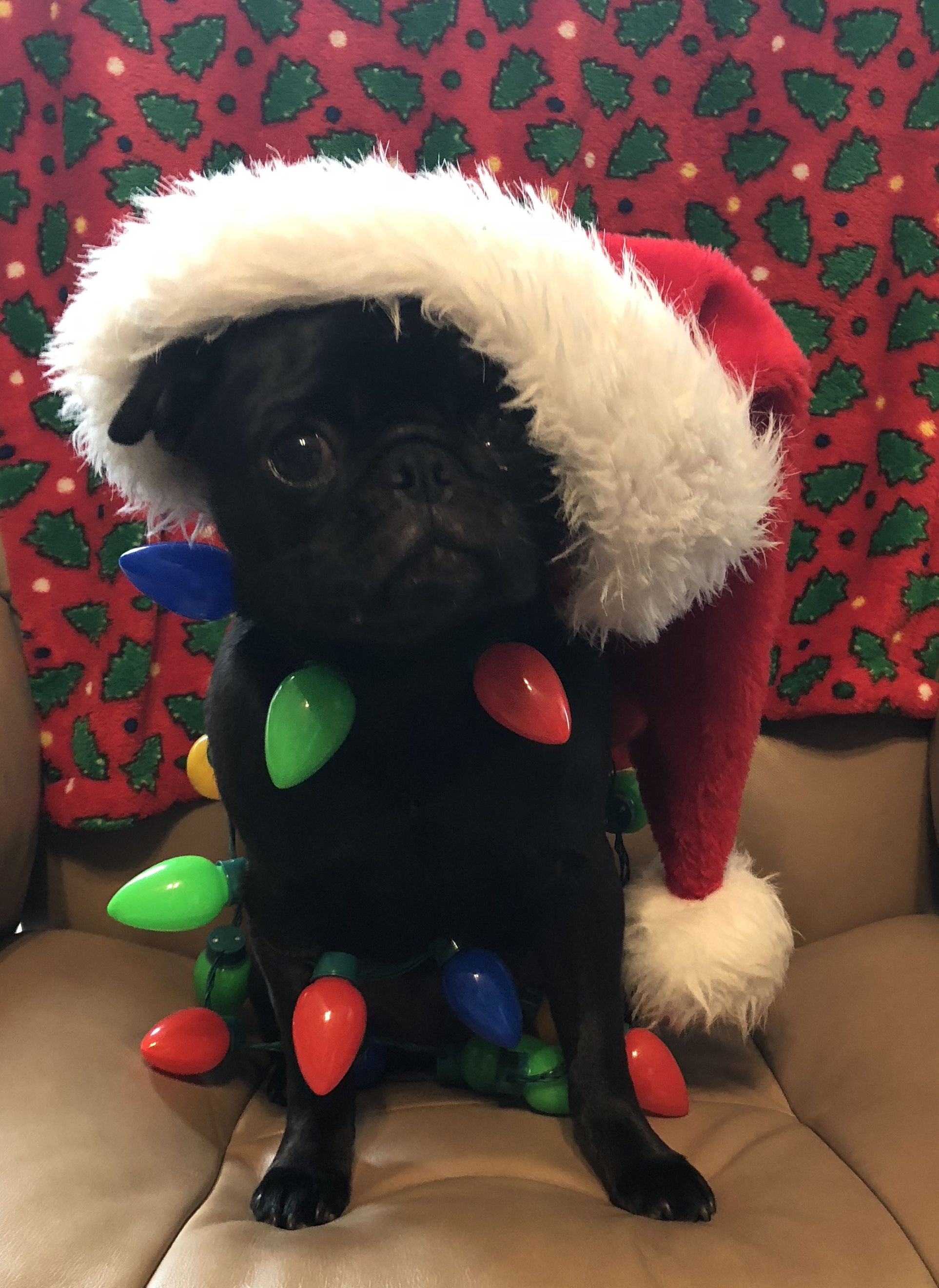 Christmas Pug Pug Obsessed Cute Baby Animals Cute Animal Photos