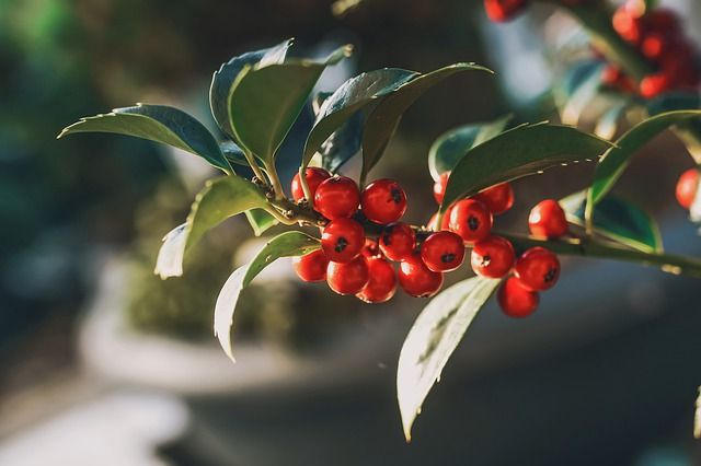 Luscha Baumwald Kissing under the mistletoe, or is it holly?