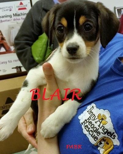 Adopt Blair Adopted On Adoptable Beagle Beagle Dog Beagle Mix
