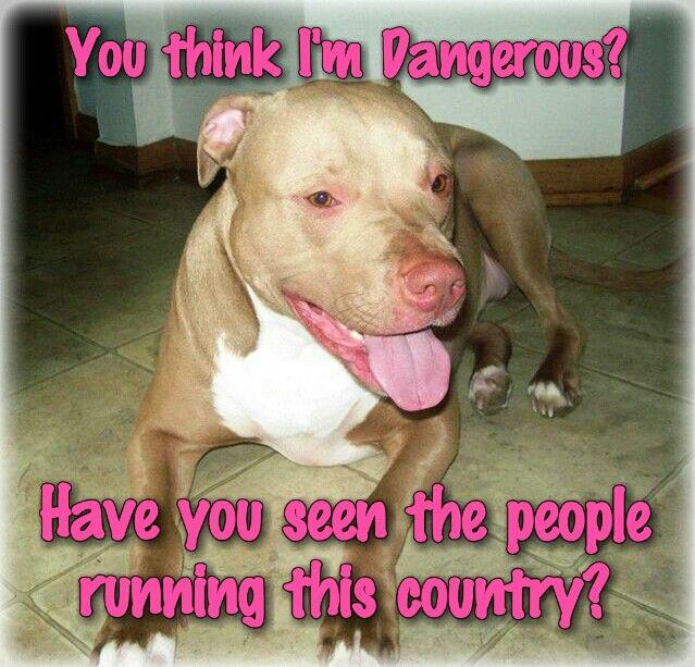 You Think I M Dangerous Pitbulls Dogs Funny Pitbulls