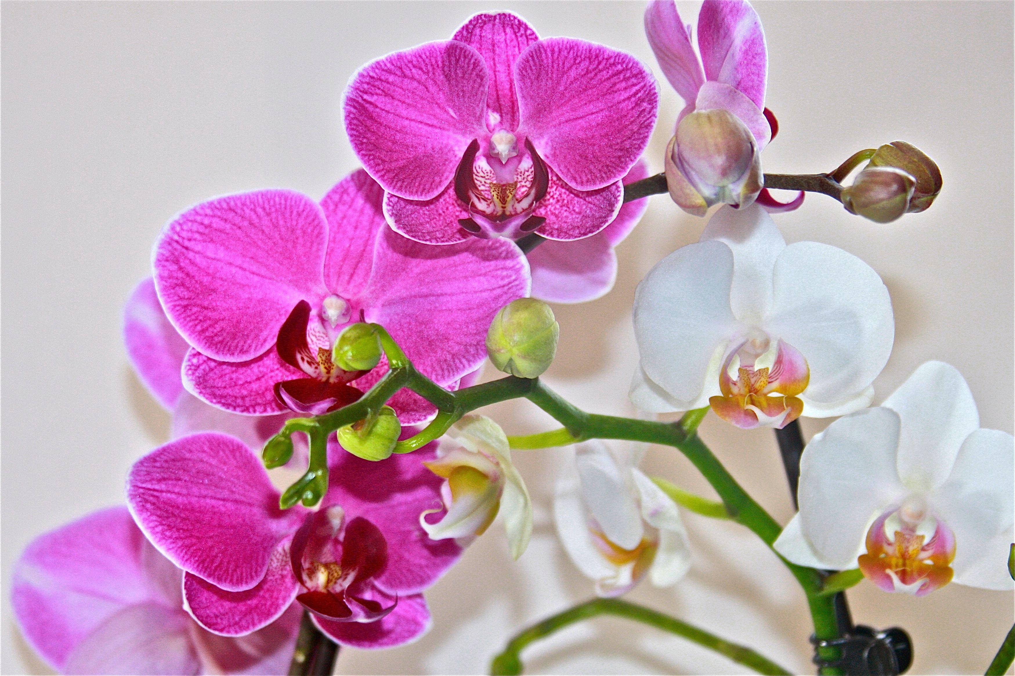 My phalaenopsis orchids are in bloom words and random