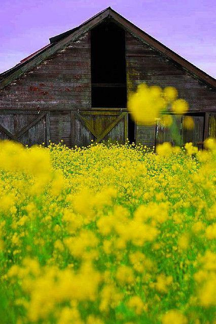 mustard yellow wildflowers rustic old barn