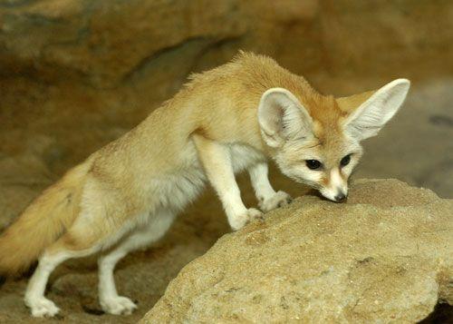 fennec fox - Google Search