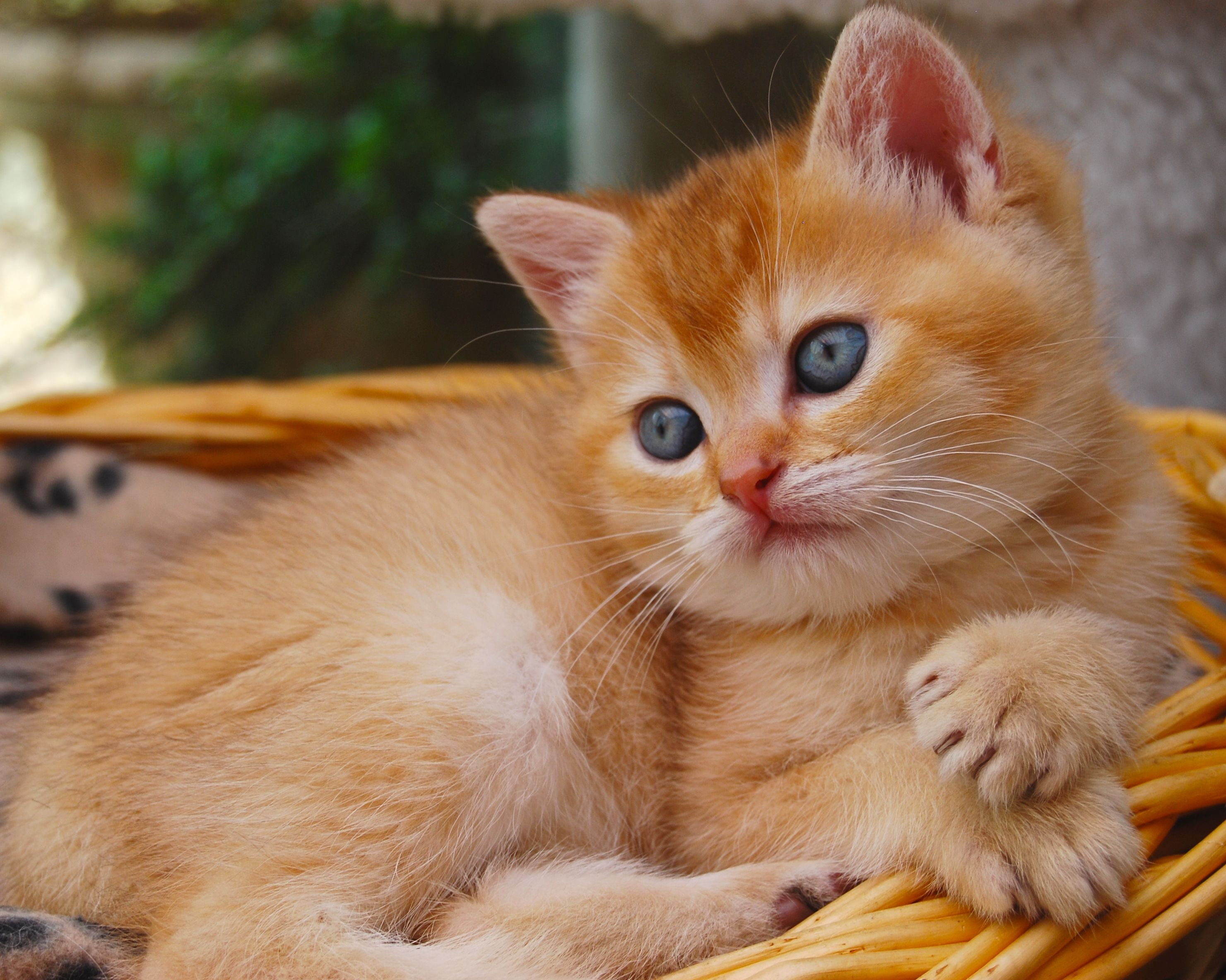 Belle Ayr Summers Marmalade Golden Shaded British Shorthair British Shorthair Cats British Shorthair Animals