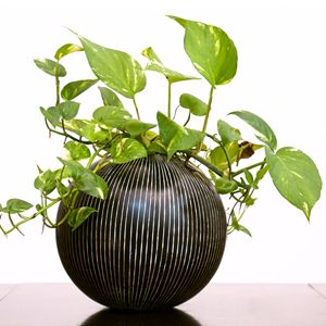 Indoor Lucky & Vastu Plants | Indoor Plants | Pinterest | Indoor ...