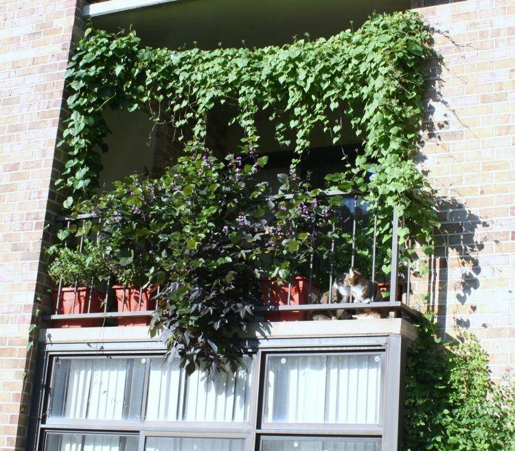balkon von vielen gr nen kletterpflanzen abgeschirmt ideen rund ums haus balcony garden. Black Bedroom Furniture Sets. Home Design Ideas
